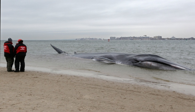 Beached whale in NYC
