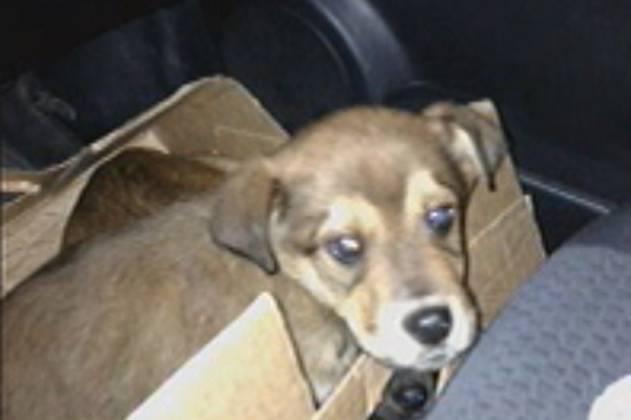 A motorist stopped to pick up the puppies after spotting a box abandoned near a road south of Portage la Prairie. (image courtesy Allison Milne)