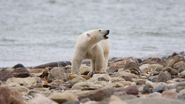 A male polar bear walks along the shore of Hudson Bay near Churchill, Man. on Monday Aug. 23, 2010. (THE CANADIAN PRESS/Sean Kilpatrick)