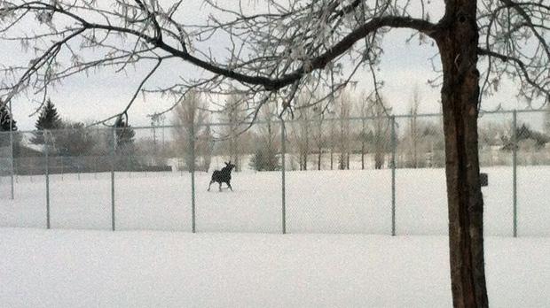 moose sighting