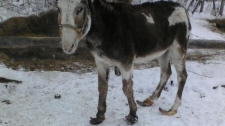 A neglected horse is seen at a farm in the  Rural Municipality of Swan River in Manitoba a after authorities raided the property and seized 27 dogs, 15 horses and two donkeys on Wednesday, Dec. 8, 2010. (RCMP)
