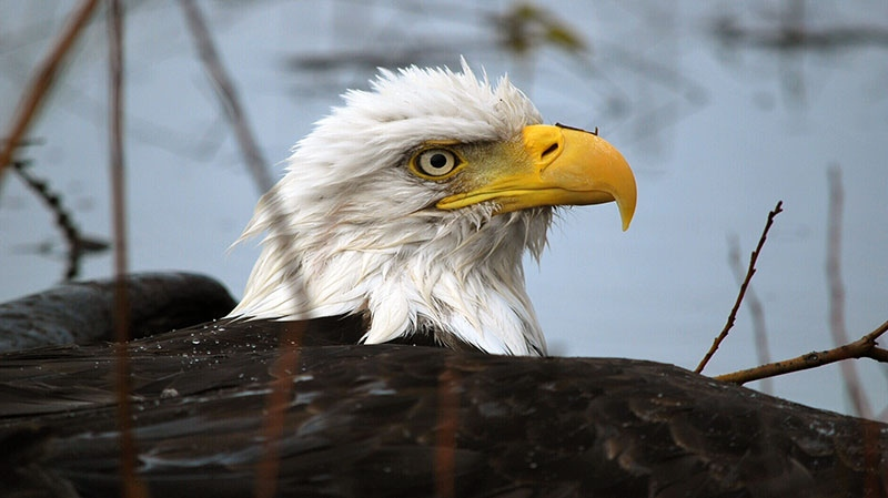 Ed and Jo Ivanisko rescued two bald eagles who were suffering from hypothermia in Campbell River, B.C.