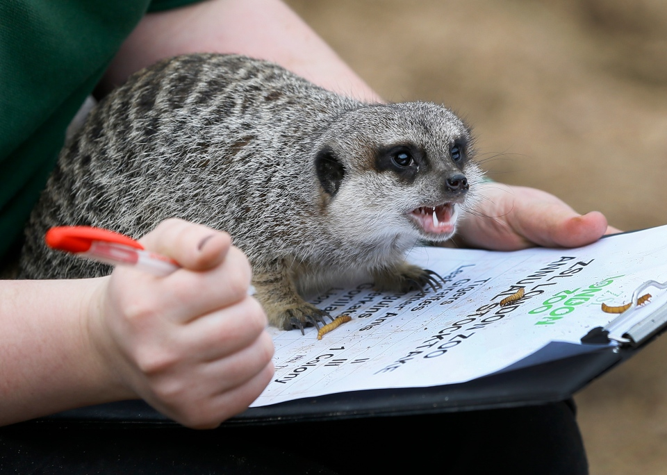 A meerkat sits on a keepers clipboard during a photo call for the annual stock take at London Zoo, Thursday, Jan. 3, 2013. (AP / Kirsty Wigglesworth)