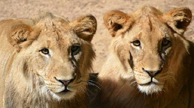 Two new male lions