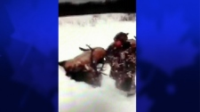 Dead elk video sparks investigation