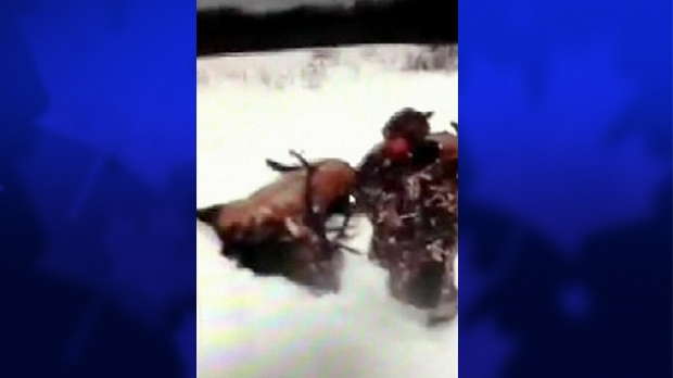 A YouTube video, appearing to show a massive elk hunt, has sparked an investigation by Manitoba Conservation.
