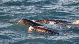 In this file photo, a pod of narwhals surfaces in northern Canada, in August 2005. (Kristin Laidre / NOAA)
