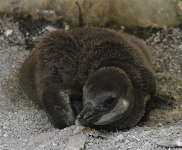 Toronto zoo welcomes 5 new baby penguins