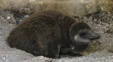 Toronto zoo welcomes 5 new baby penguins