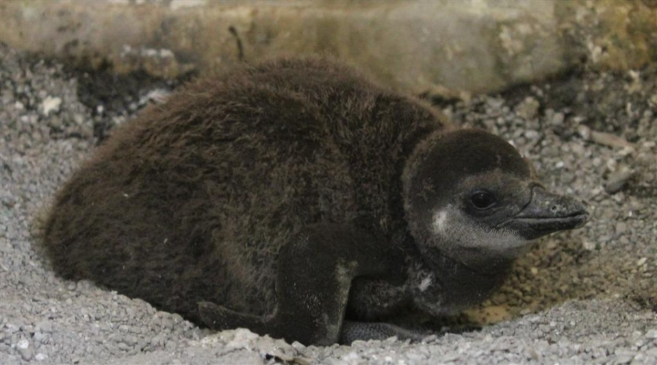A baby African Penguin born to parents Pedro and Thandi at the Toronto Zoo is shown in this undated photo. (Photo courtesy of Toronto Zoo)