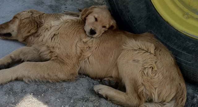 Two golden retrievers disappeared three days before Christmas in southeastern Manitoba. Some pet owners believe the dogs are being snatched.