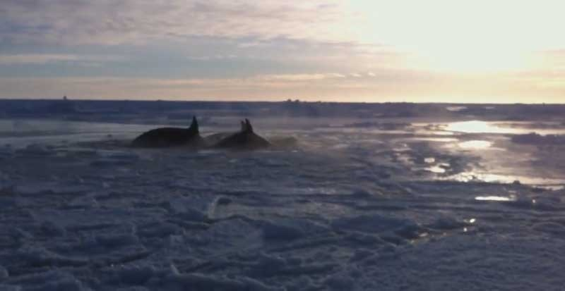 Killer whales appear to be trapped in the bay in Inukjuaq.