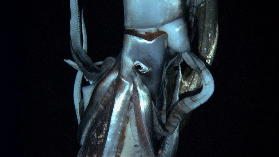 A giant squid swims in the deep sea off Chichi island, Japan (NHK / Discovery Channel)