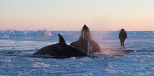 A pod of killer whales surface in a small hole in the ice near near Inukjuak, in Northern Quebec, on Wednesday Jan. 8, 2013. (Marina Lacasse)