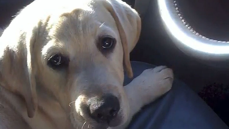 Buddy, a two-year-old male yellow lab went missing on Dec. 29. His owner believes someone may be stealing and reselling the dogs, and if that's the case, is urging new dog owners to get their pets scanned fro a microchip.
