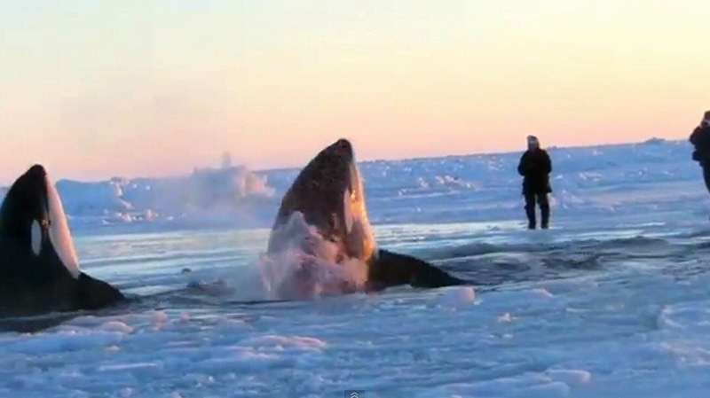 Killer whales take turns surfacing at a small hole in the ice in Inukjuak, Que., Wednesday, Jan. 9, 2013.