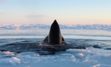 Killer whale Inukjuak Quebec ice trapped freed