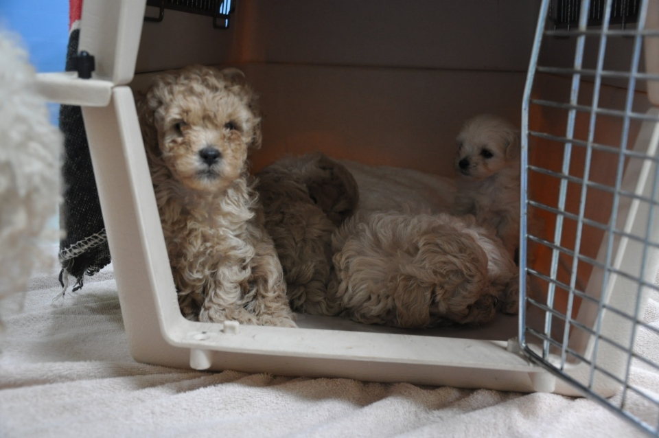 Forty-four dogs were seized from a Victoria-area animal hoarder on Jan. 9, 2012, according to the BC SPCA. (Handout)