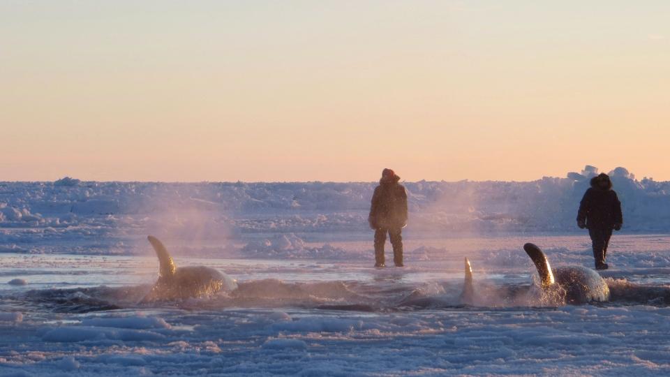 Killer whales Quebec