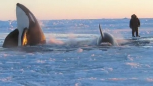 CTV National News: Whales trapped by sea ice