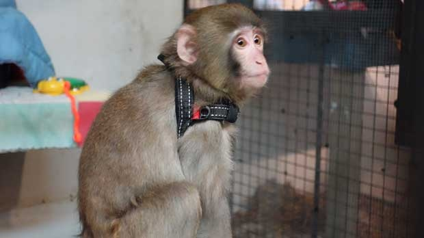 Darwin, better known as the Ikea monkey, is photographed from his new home at the Story Book Farm Primate Sanctuary.  (Tom Podolec/CTV Toronto)