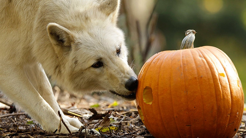 A wolf explores a Halloween pumpkin at the Woodland Park Zoo in Seattle, Thursday, Oct. 27, 2011. (AP / Ted S. Warren)
