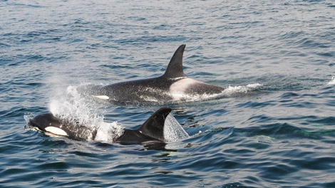 Springer, the orphaned killer whale who was rehabilitated by the Vancouver Aquarium was spotted thriving off the coast of B.C. in Aug. 2010. (Handout)