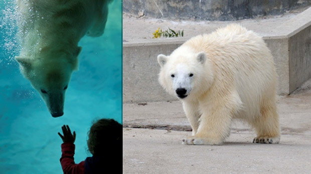 Hudson the polar bear is shown in Toronto. He will be arriving soon in Winnipeg. (left image courtesy Jim Skene, Toronto Zoo Volunteer, right image-  courtesy Ken Ardill, Toronto Zoo Volunteer)