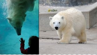 the Toronto Zoo's one-year-old polar bear cub 'Hudson' is being moved to Assiniboine Park Zoo in Winnipeg, officials announced Thursday, Jan. 17, 2013. (Toronto Zoo handout)