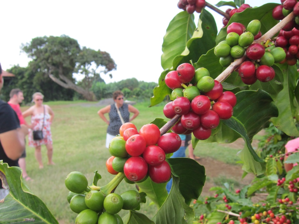 "Visitors tour a Kona coffee farm on, where ripe red ""cherries"" are ready to be picked. Each cherry normally contains two coffee beans. (Mike Fuhrmann/THE CANADIAN PRESS)"