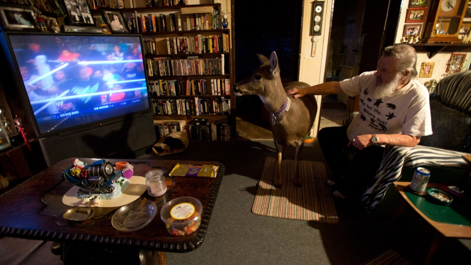 Mike Miller watches wrestling on TV with pet deer Bimbo at Janet Schwartz's home near Ucluelet, B.C., Friday, January, 18, 2013. (Jonathan Hayward / THE CANADIAN PRESS)