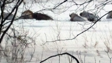 Winnipeg homeowners concerned over roaming bison