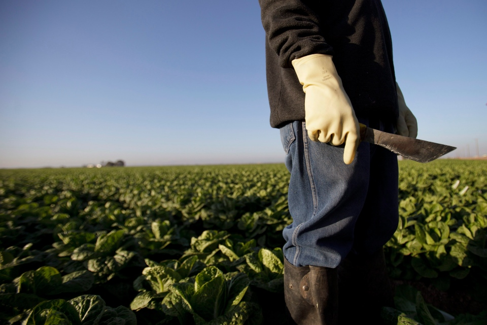 Farm worker Manuel Soto holds his knife before beginning work in the lettuce fields near Holtville, Calif., Jan. 31, 2012.  (AP / Gregory Bull)