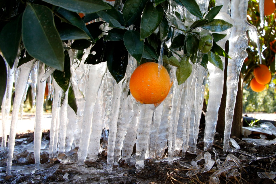 Icicles are formed on an orange tree in an orange grove in Redlands, Calif., Tuesday, Jan. 15, 2013.  (AP / Jae C. Hong)