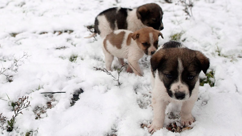 Three puppies walk through a snow-covered fairground in Stamata, on the northern fringes of Athens, on Tuesday, Jan, 8, 2013. (AP / Petros Giannakouris)
