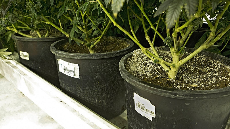 A bar code attached to the pots growing marijuana plants at a grow house in Denver, Jan. 26, 2013. (AP /Ed Andrieski)