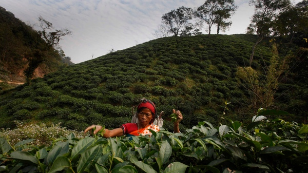 An Indian laborer plucks tea leaves at a tea garden in Amchong tea estate, about 45 kilometers (28 miles) east of Gauhati, India, Friday, Dec. 31, 2010. Tea growers say climate change has hurt the country's tea crop. (AP Photo/Anupam Nath)