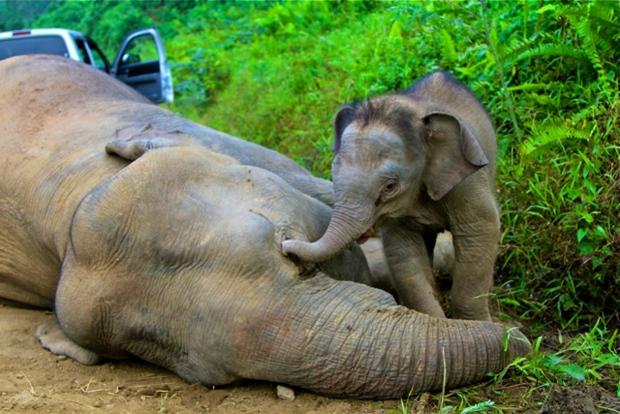 Elephant and calf in Sabah, Malaysia.