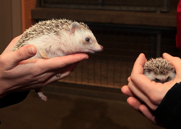 A hedgehog at a nursery in Cincinnati.  (AP / Al Behrman)