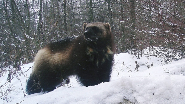 Undated file photo of a female wolverine.