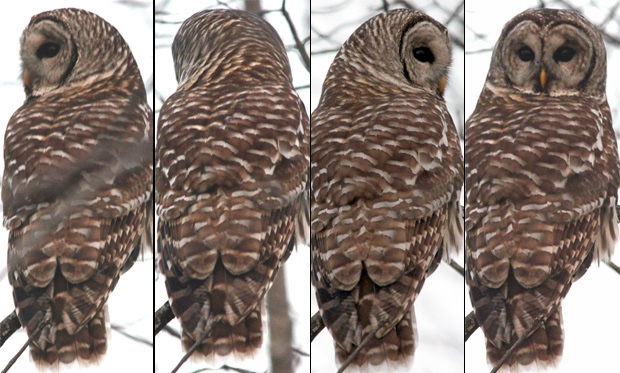 'Extreme neck rotation' of a barred owl.