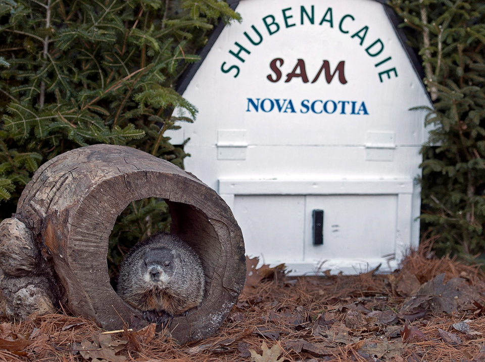 Shubenacadie Sam ventures from his burrow to spot his shadow in Shubenacadie, N.S. on Saturday, Feb. 2, 2013. (Andrew Vaughan / THE CANADIAN PRESS)