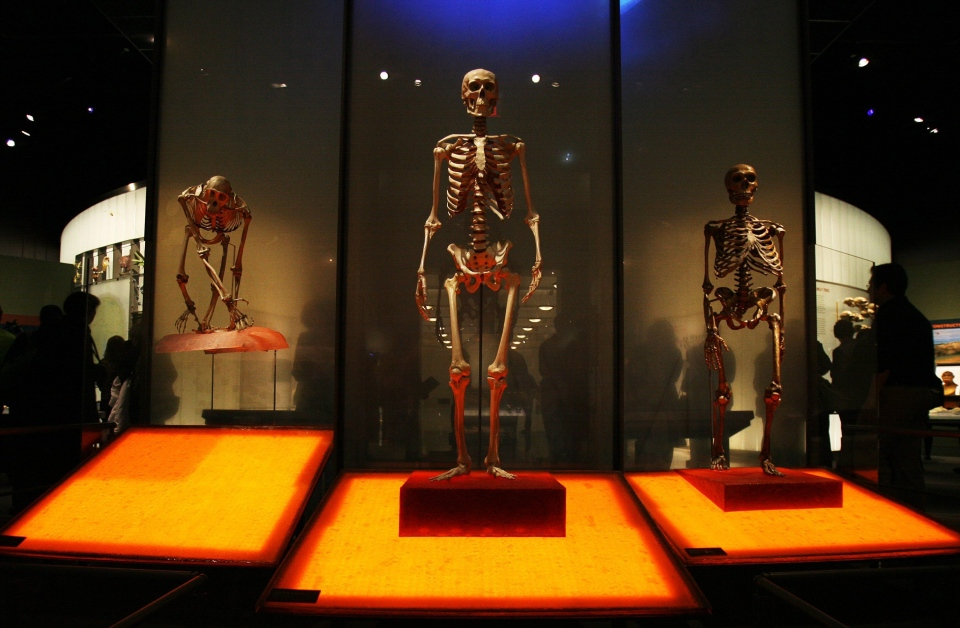 Skeletons of a chimpanzee, left, a modern human, center, and a Neanderthal are displayed during media preview at the new Hall of Human Origins of the American Museum of Natural History, Tuesday, Feb. 6, 2007 in New York. (AP / Dima Gavrysh)