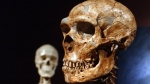 A reconstructed Neanderthal skeleton, right, and a modern human version of a skelaton, left, are on display at the Museum of Natural History Wednesday in New York. (AP / Frank Franklin II)
