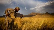 Afghan farmers harvest wheat outside Kabul, Afghanistan, June 24, 2010. (AP / Dusan Vranic)