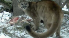 Cougars, camera, Banff National Park,