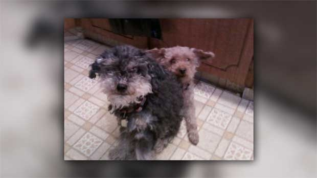 The family's two miniature poodles, Wiki and Annie, are still missing.