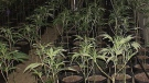 Marijuana plants are shown in a photo provided by police after a grow-op bust on Gardenia Bay in Winnipeg.