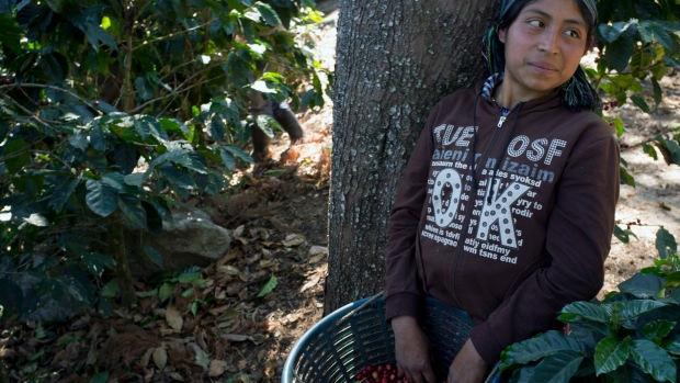 Guatemala coffee crops