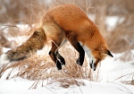 A leaping fox is shown in this undated file photo. (Michael Furtman)